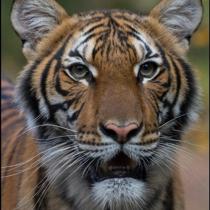Cuatro tigres y tres leones dan positivo por covid-19 en zoológico neoyorquino