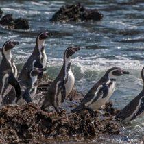 Día mundial de los Pingüinos: retrocede la población de una de sus especies más emblemáticas