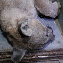 SAG captura a puma al interior de domicilio de Colina