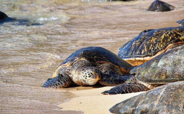 Beneficios de cuarentena: tortugas marinas anidan tranquilamente en playasvacías