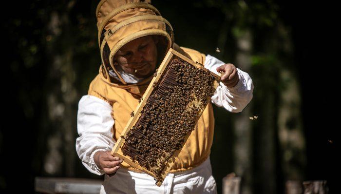Apicultores de Callaqui impulsan el rescate tradicional en la cosecha de miel