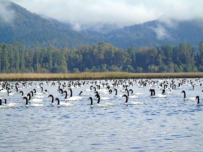 Cifra record: contabilizan más de 21 mil cisnes de cuello negro en santuario de la naturaleza ubicado en Los Ríos