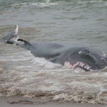Sernapesca presenta denuncia para determinar si hubo participación de terceros en varamiento de ballena en centro de cultivo de Aysén