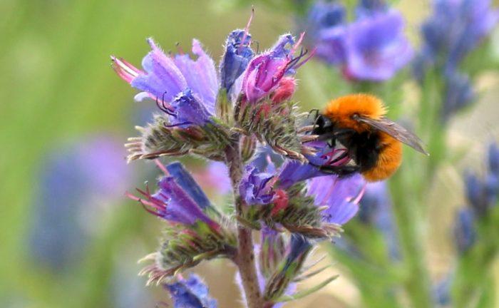 Viña estudia la diversidad de abejas nativas en el valle de Curicó