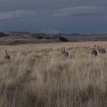Campaña de restauración ecológica libera a 14 ñandúes en la patagonia chilena