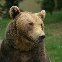 Avistan a oso pardo en el noroeste de España: es el primero que se ve en lazona en 150 años