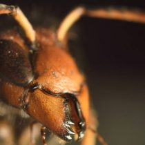 Hombre de 54 años murió por picadura de avispa asiática en España