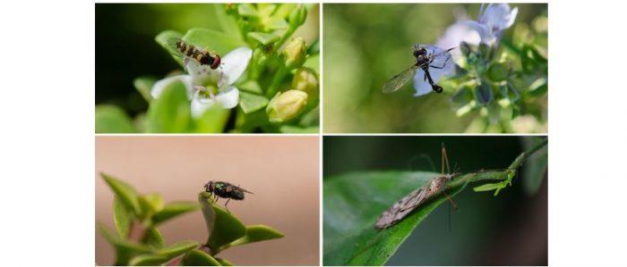 El lado invisible de la biodiversidad: las moscas florícolas de Chile