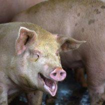 Científicos chinos alertan de nueva cepa de gripe porcina