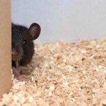 Neurociencias: las ratas demuestran divertirse jugando a las escondidas