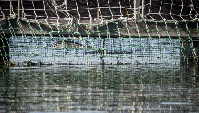 """Masiva fuga de salmones en Los Lagos:  """"El escape de Blumar es devastador y puede superar el millón"""""""