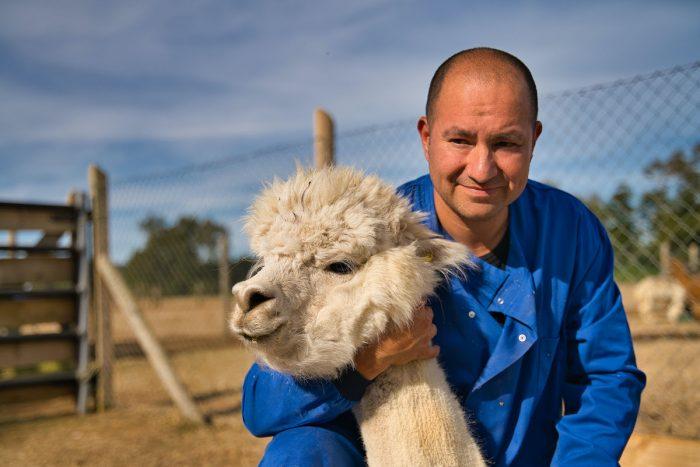 Científicos chilenos encuentran en las alpacas el