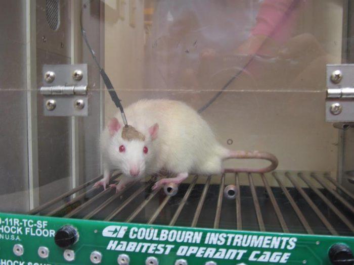 Por qué los ratones, cerdos o macacos son imprescindibles para investigar y superar el Covid-19