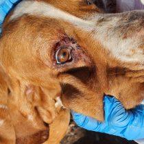 Solicitan fortalecer Ley de Tenencia Responsable de Mascotas tras caso de maltrato animal en Isla de Maipo