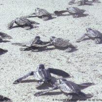 Tortugas marinas en Venezuela ganan el Energy Globe Award
