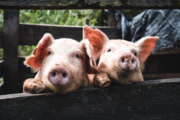 El riesgo de nuevas enfermedades con potencial pandémico por consumo de animales