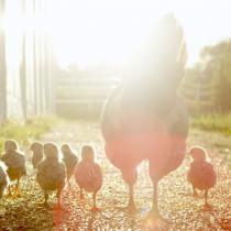 Dan a conocer ranking de transparencia en bienestar animal en Chile y el uso de gallinas enjauladas