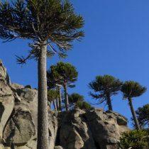 Árboles antiguos ayudarán a la creación de un Atlas de Sequía en Chile