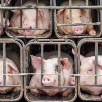 Alerta sin alarma: qué hacer frente al virus porcino con 'potencial pandémico' detectado en China