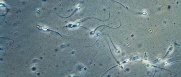Con análisis matemático científicos reconstruyen sorprendente forma en que realmente nadan los espermatozoides