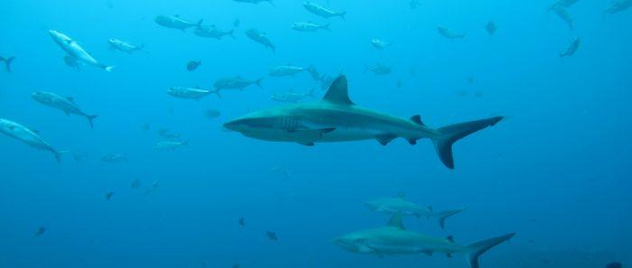 """La vida """"secreta"""" de los tiburones: estudio revela sus sorprendentes relaciones sociales"""