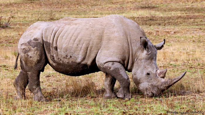 Sudáfrica: caza furtiva de rinocerontes se redujo en un 53%