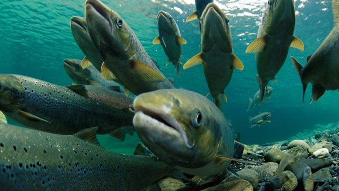 El impacto voraz de la fuga de salmones en el sur de Chile