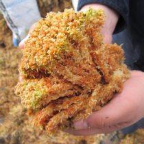 """Extracción indiscriminada de musgo """"pompón"""" hace peligrar el agua en Chiloé"""