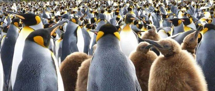 Investigadores de Chile revelan origen de lospingüinos en aguas templadas, fuera de la Antártica