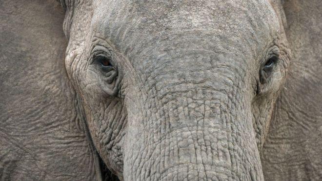 El estudio que revela cómo los elefantes machos y viejos juegan un rol crucial en la supervivencia de la especie