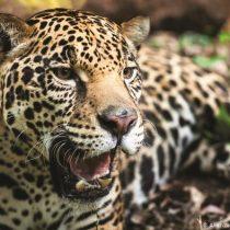 Inversiones chinas y el aumento del tráfico de jaguares en América Latina