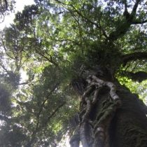 Grupo interdisciplinario de investigadores determinó que bosques antiguos sureños almacenan más agua que cualquier otro ecosistema vegetal