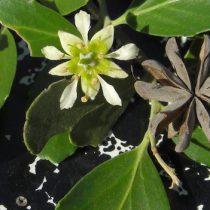 El Quillay: una especie endémica que podría ser clave en la lucha contra el COVID-19