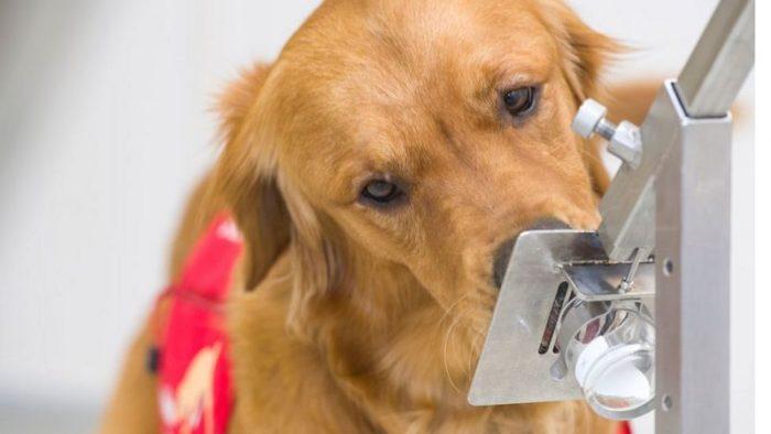 Síntomas de covid-19: el mecanismo por el que los perros pueden detectarlos 5 días antes de que empiecen