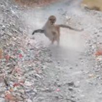 Montañista fue perseguido por una puma madre durante largos minutos en Estados Unidos
