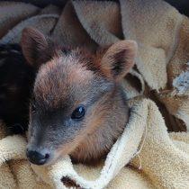 Alertan que fauna silvestre de Chiloé está desprotegida