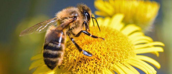 Proyecto indaga en si existen otras abejas, además de la abeja de la miel