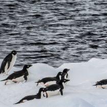Advierten impacto de captura de kril durante inviernos cálidos en poblaciones de pingüinos antárticos