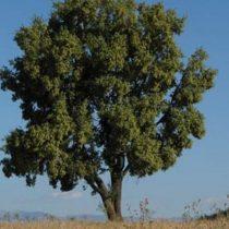 Vacuna contra covid-19: el árbol mapuche que alberga un ingrediente