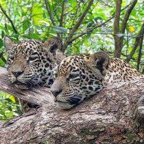 América Latina lucha contra la extinción del jaguar