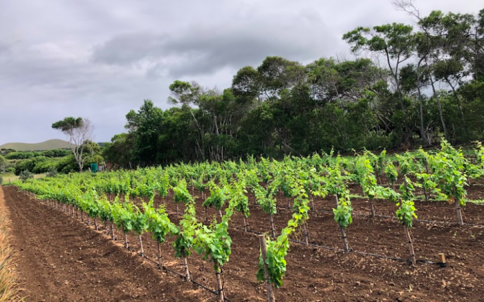 Vino en Rapa Nui: a un año de la primera plantación de cepas de vino en la isla