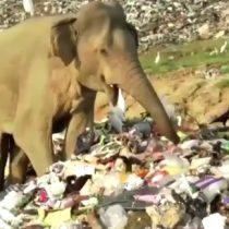 Elefantes van en busca de comida a basural de Sri Lanka poniendo en riesgo sus vidas tras consumo accidental de plásticos