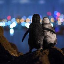 La conmovedora foto de dos pingüinos viudos consolándose que ganó el premio Ocean Photograph Awards