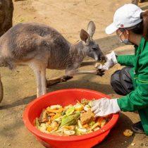 Los canguros pueden aprender a comunicarse con los humanos, según estudio