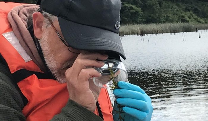 Científicos analizan turbiedad del agua y disminución en planta con que se alimentan cisnes en Humedal del Río Cruces