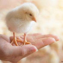 Alemania prohíbe la matanza de pollitos a partir de 2022