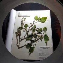 Exposición sobre el poblamiento de la Polinesia y Oceanía en MHNV