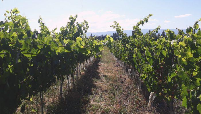 Viñas emergentes de La Araucanía anuncian proyecto asociativo