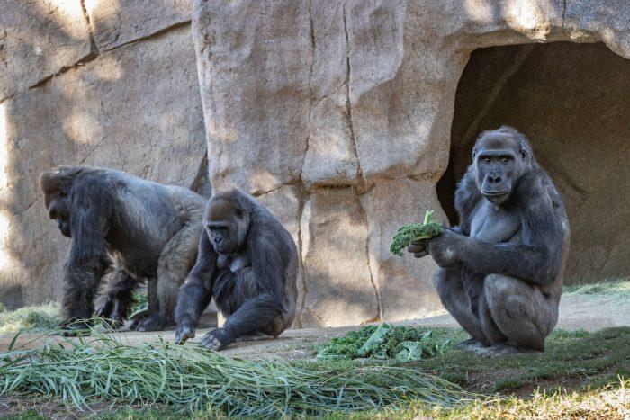 Gorilas de zoológico de San Diego se enfermaron de Covid-19