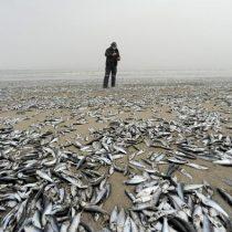 Miles de peces aparecen muertos en los ríos Laraquete y Carampangue